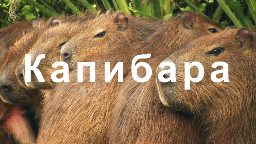 "OCN Mobile ONE ""Capybara"""